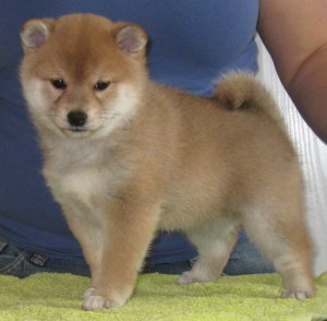 2. Tik - Chonix Maiko - som betyder; Dansande barn, vacker rörelse, används för att beskriva hundars rörelse på hundutställningar bland annat.