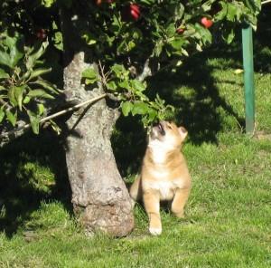 Kiwa gör ett försök att plocka äpplen.