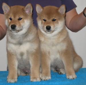 De båda hanarna: Chonix Ryuu väger nu 4200 gram och Chonix Rei väger nu 3700 gram.