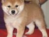 Chonix Himeko 5 veckor - tik