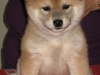 Chonix Hoshiko 5 veckor